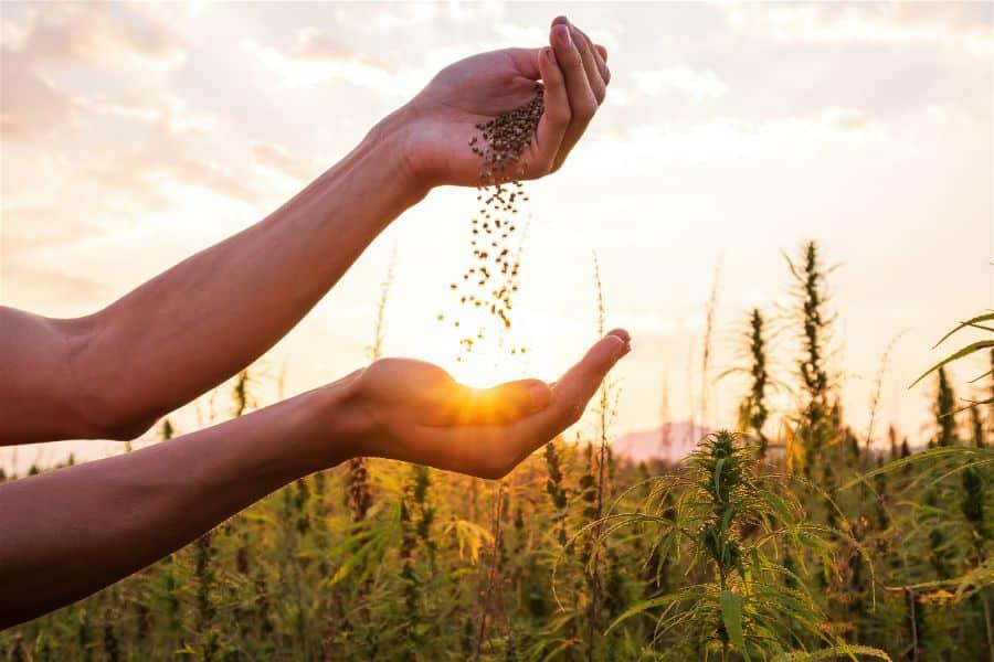 hemp seed field